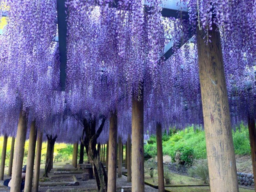 蓮華寺池公園(静岡) | 2019年藤まつり・見頃情報