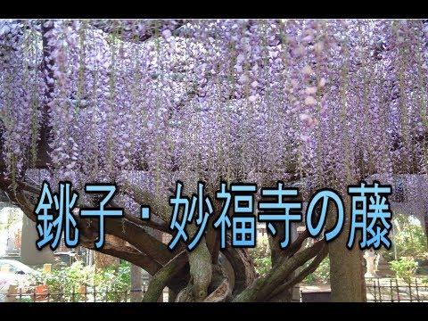 妙見宮 妙福寺(千葉) | 2019年藤まつり・見頃情報