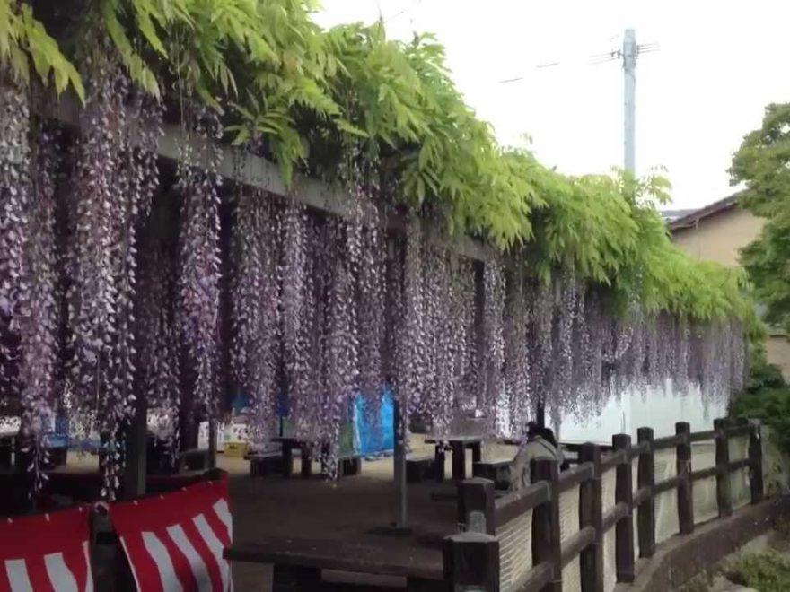 大中臣神社(福岡) | 2019年将軍藤まつり・見頃情報