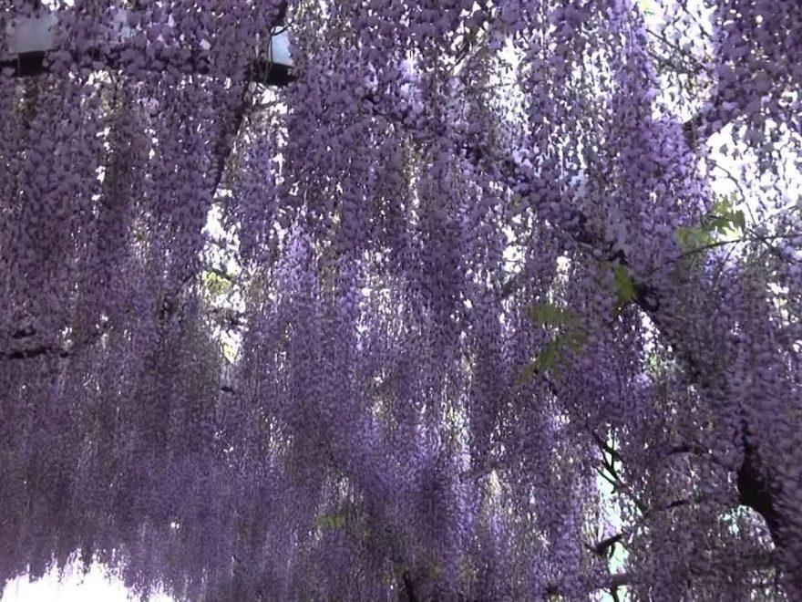 中山熊野神社・立花いこいの森公園(福岡) | 2019年藤まつり・見頃情報