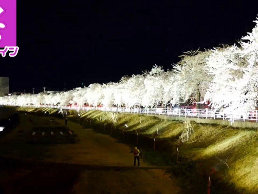 馬見ヶ崎桜ライン(山形) | 2019年夜桜ライトアップ・見頃情報