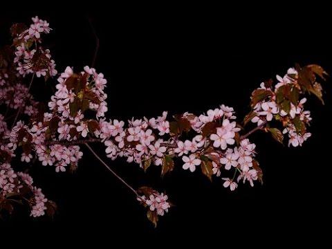 旭川市 旭山公園(北海道) | 2019年夜桜ライトアップ・見頃情報