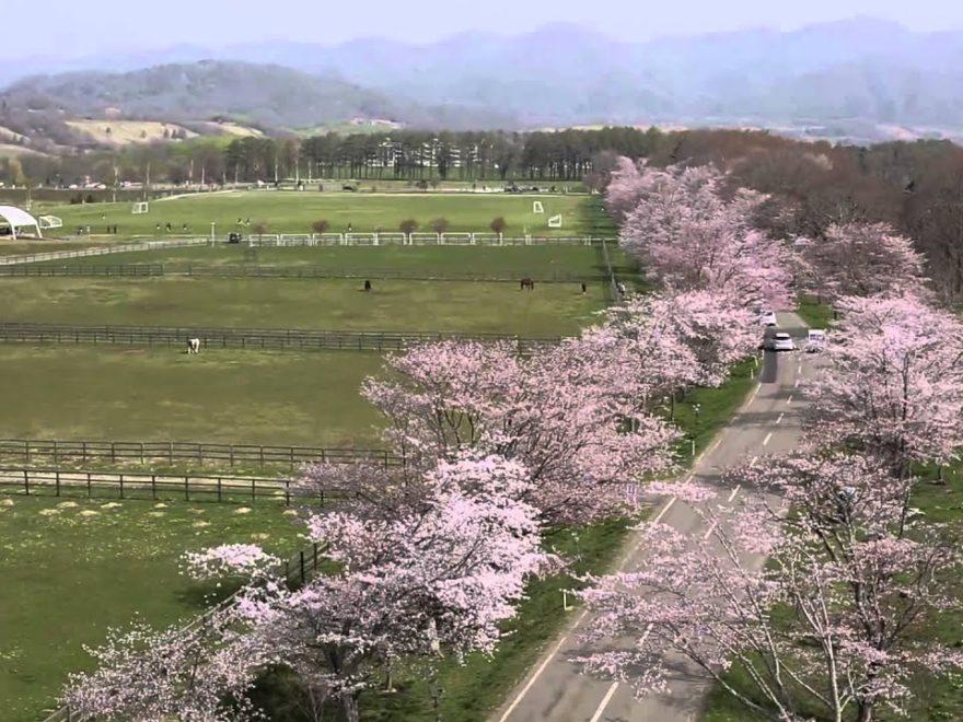 浦河町 優駿さくらロード(北海道) | 2019年夜桜ライトアップ・見頃情報