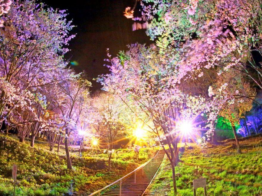 金刀比羅山桜まつり会場(北海道) | 2019年夜桜ライトアップ・見頃情報