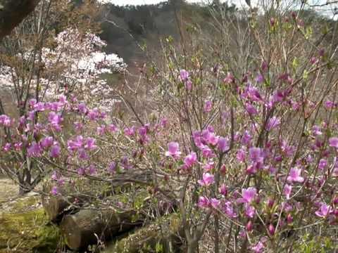 日野町 滝山(たきさんこ)公園(鳥取) | 2019年つつじ祭り・見頃情報