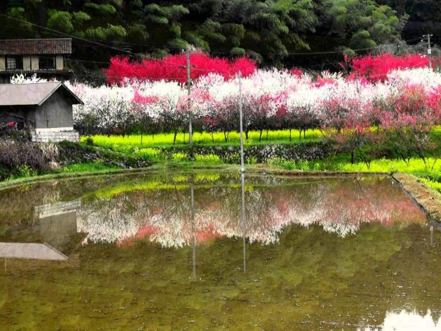 第8回 天国に一番近い里 川角集落 「花桃を愛でる二週間」(鳥取/フラワーイベント情報)