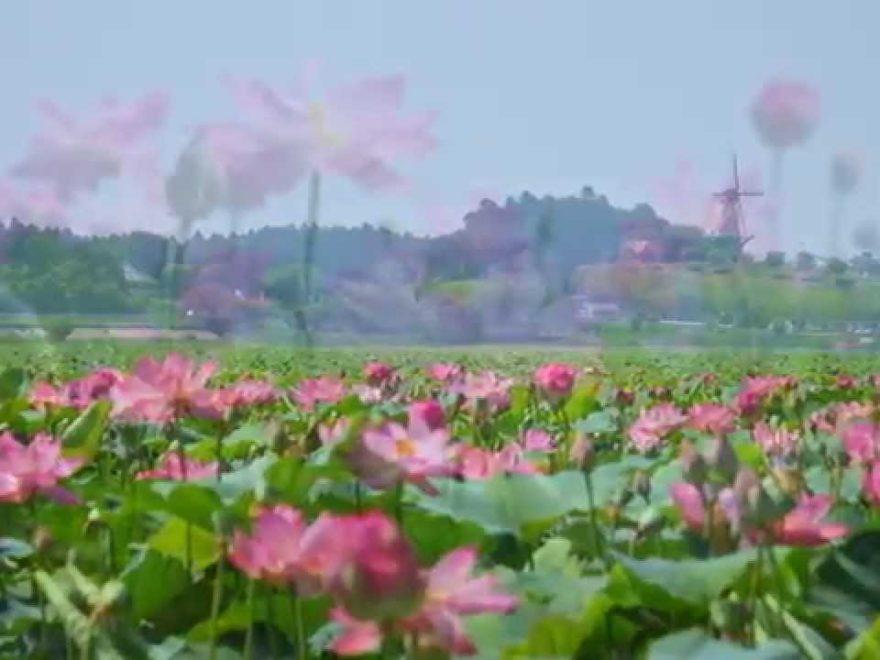 長沼・兵粮山公園(宮城) | 2019年はす祭り・見頃情報