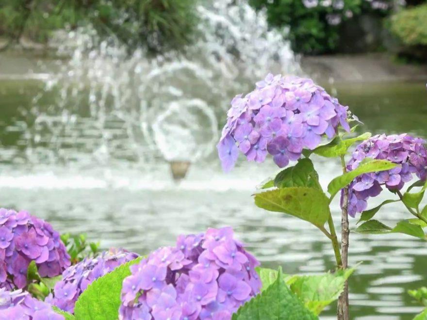保和苑・水戸八幡宮(茨城) | 2019年あじさい祭り・見頃情報