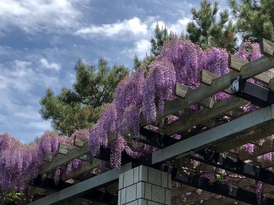 前田森林公園(北海道) | 2019年藤まつり・見頃情報