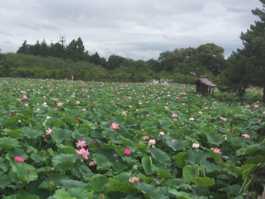 猿賀公園(青森) | 2019年はす祭り・見頃情報