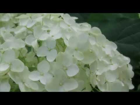 神戸市立森林植物園(兵庫) | 2019年あじさい祭り・見頃情報