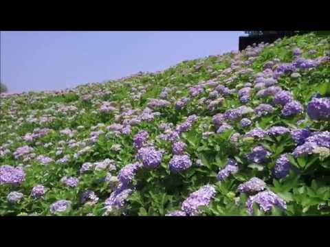 国営讃岐まんのう公園(香川) | 2019年あじさい祭り・見頃情報
