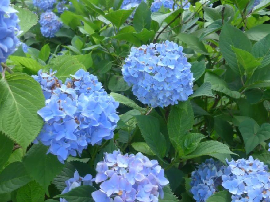 伊達市 徳が森(福島) | 2019年あじさい祭り・見頃情報