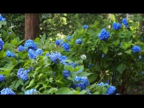 関市板取21世紀の森公園(岐阜) | 2019年あじさい祭り・見頃情報