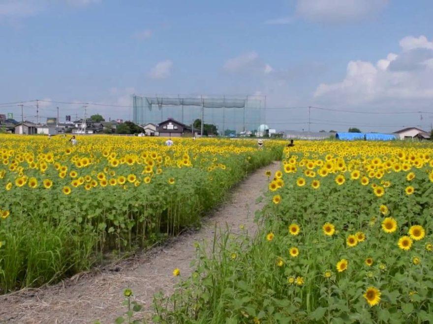 佐賀市 ひょうたん島公園(佐賀) | 2019年ひまわり祭り・見頃情報
