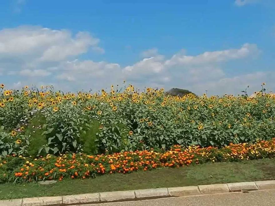 長井海の手公園・ソレイユの丘(神奈川) | 2019年ひまわりイベント・見頃情報