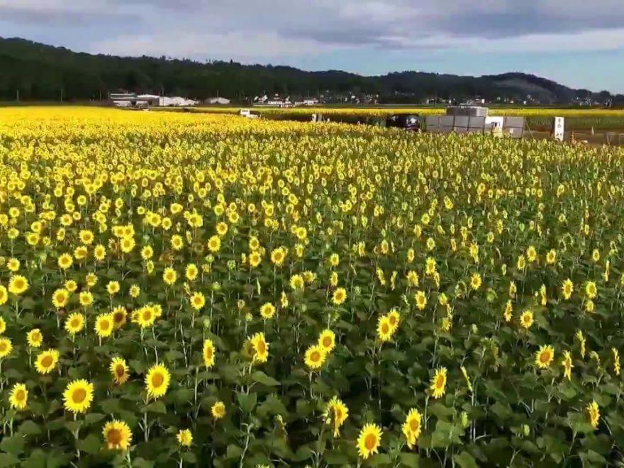 益子町ひまわり畑(栃木) | 2019年ひまわり祭り・見頃情報