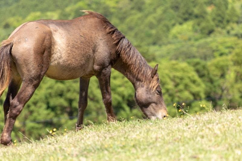 都井岬と馬4(草を食む)