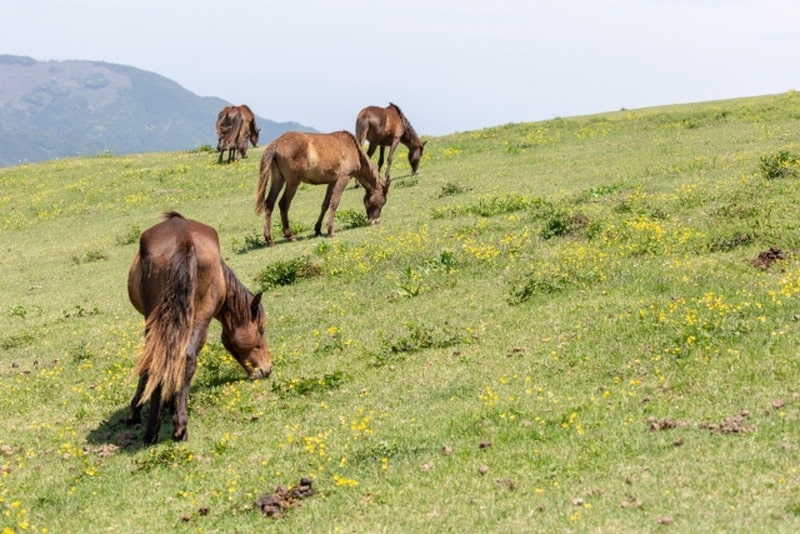 都井岬と馬3(群れ)