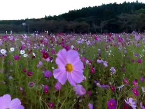 パノラマ遊花の里(富士山すそのパノラマロード/静岡) | 2019年コスモス祭り・見頃情報