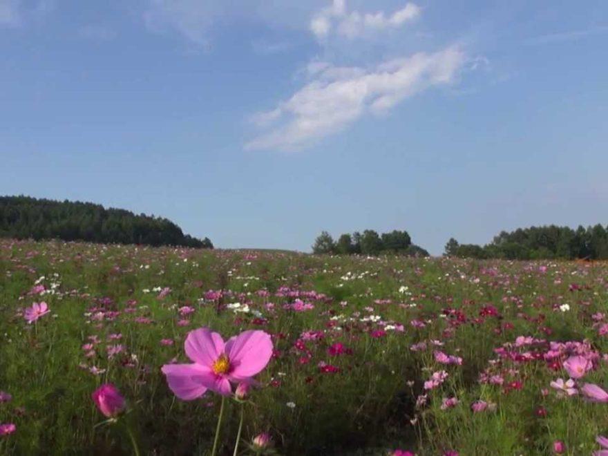 太陽の丘えんがる公園 虹のひろば(北海道) | 2019年コスモス祭り・見頃情報
