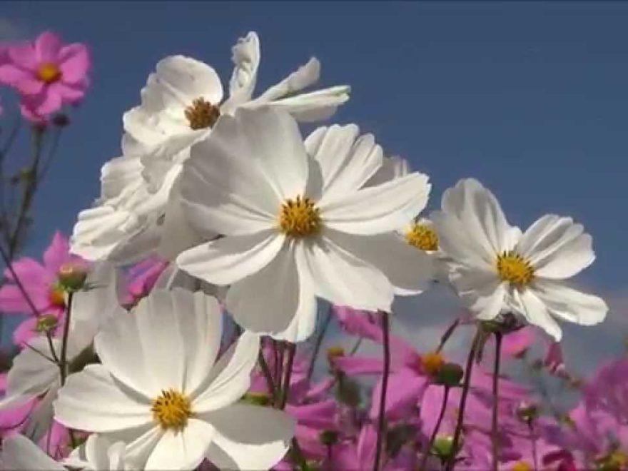 国営備北丘陵公園(岡山) | 2019年コスモス祭り・見頃情報