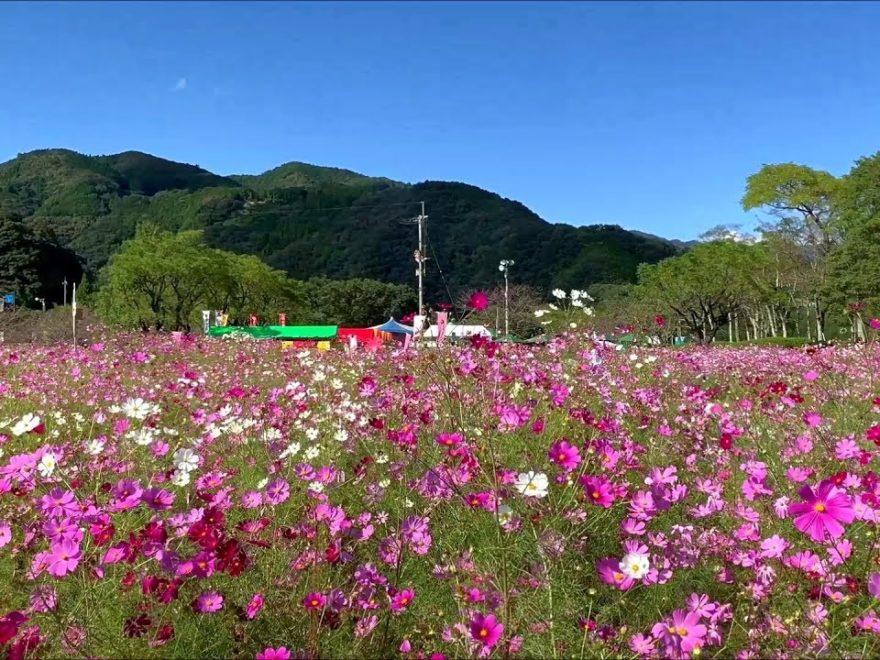 越知町 宮の前公園(高知) | 2019年コスモス祭り・見頃情報
