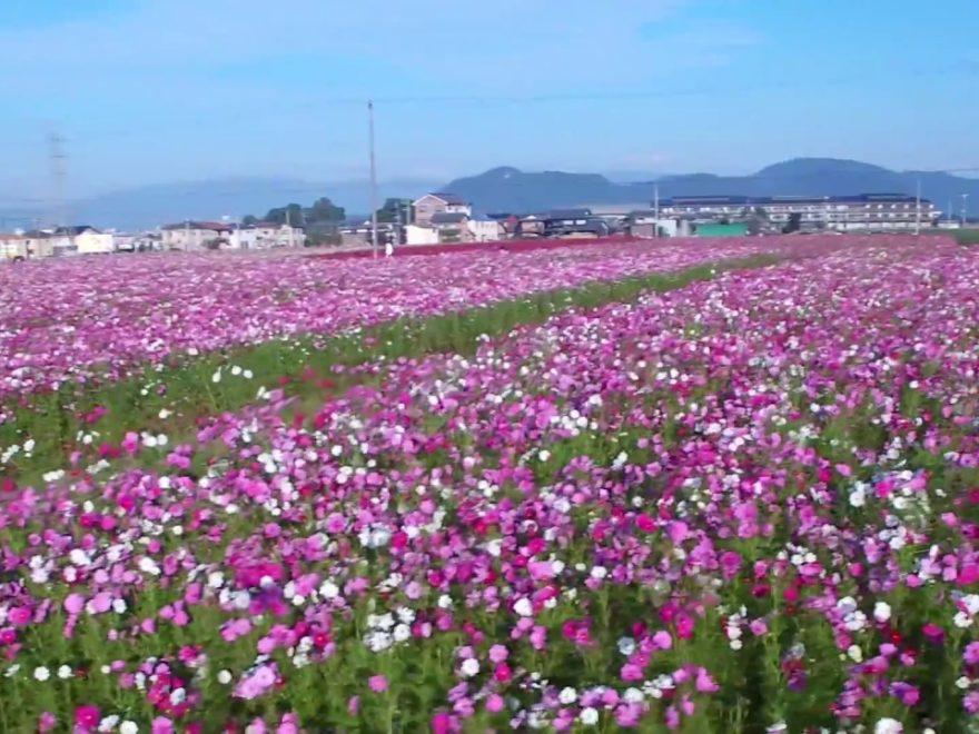 近江八幡市野田町 コスモス畑(滋賀)   2019年コスモス祭り・見頃情報