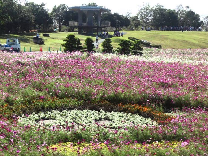 浜名湖ガーデンパーク(静岡) | 2019年コスモス祭り・見頃情報