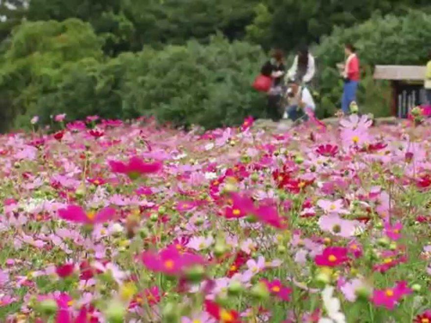 のこのしまアイランドパーク(福岡) | 2019年コスモス祭り・見頃情報