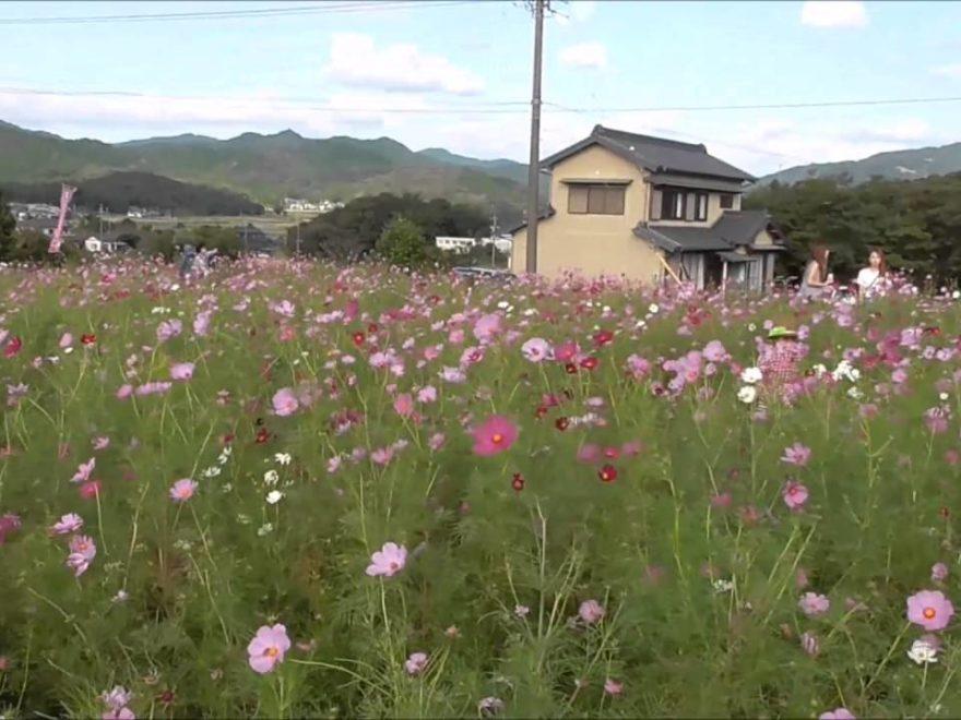 新城市 コスモスの小径(愛知) | 2019年コスモス畑の開園・見頃情報