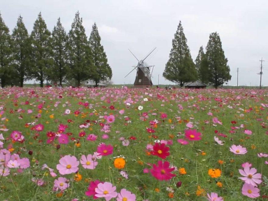 あけぼの山農業公園(千葉) | 2019年コスモス祭り・見頃情報