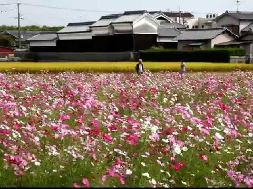 高槻市三島江地区 コスモスロード(大阪) | 2019年開園・見頃情報