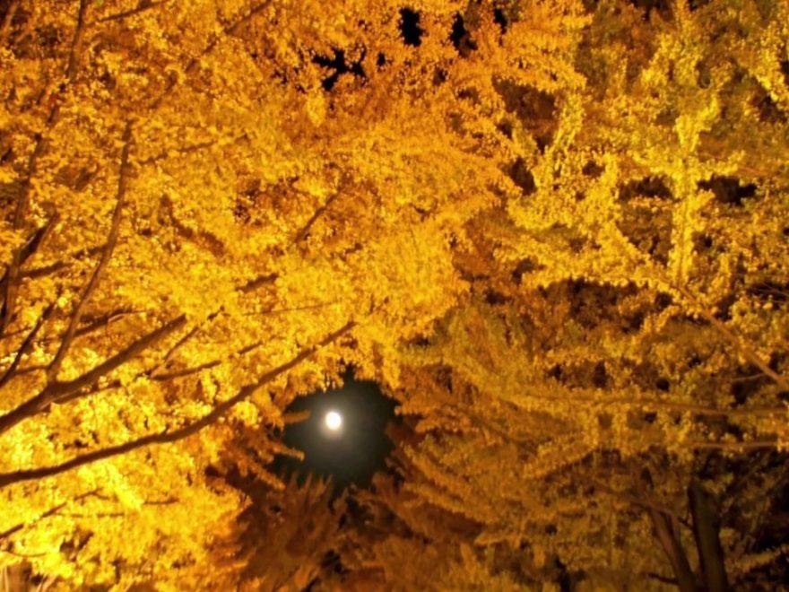 北大金葉祭(北海道大学イチョウ並木) | 2019年紅葉ライトアップ情報