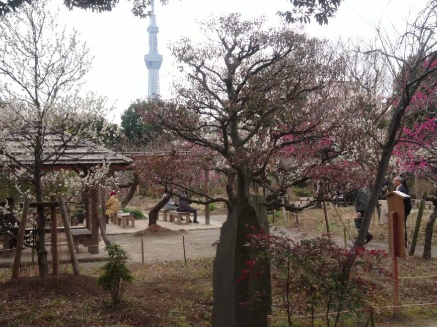 向島百花園(東京) | 2020年梅まつり・見頃情報