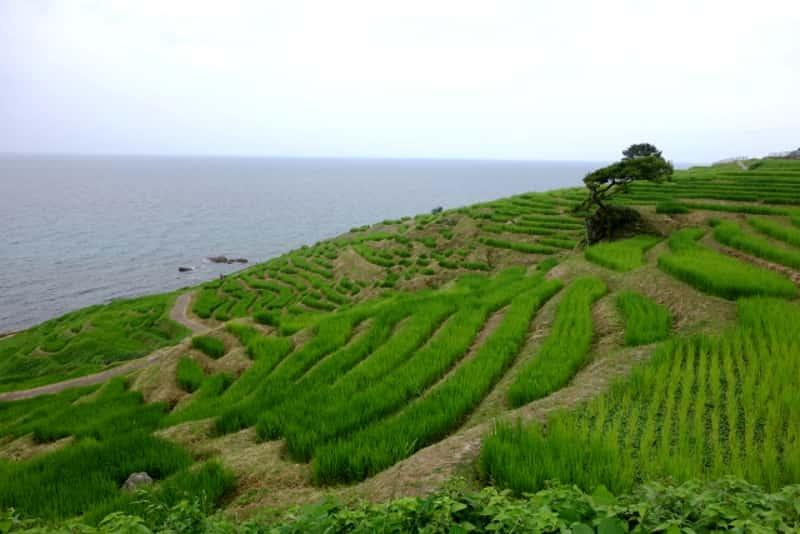 白米千枚田-成長した稲穂