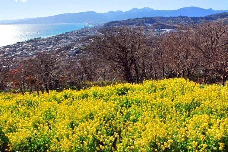 吾妻山公園_菜の花