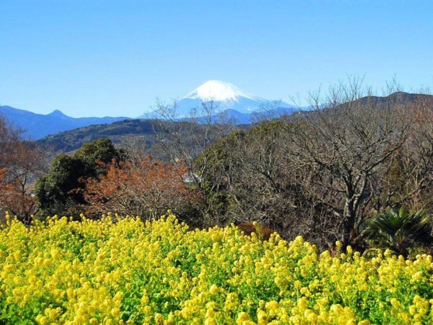 吾妻山公園_菜の花_cover