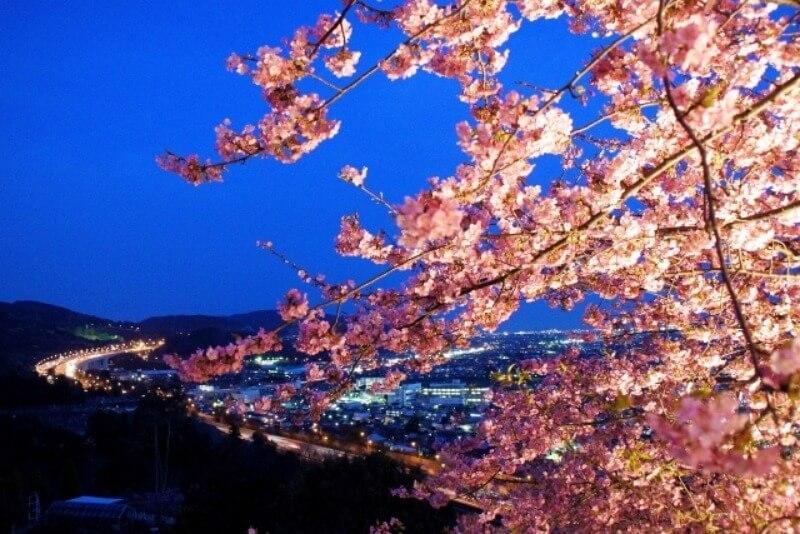 松田山_河津桜_ライトアップ・夜景