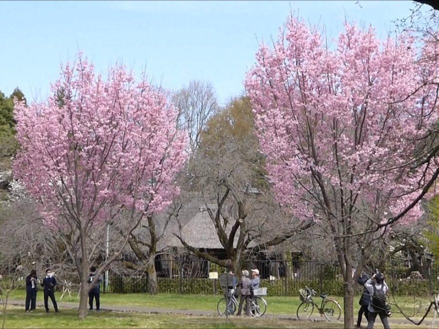小金井公園(東京)|2020 桜まつり・見頃情報