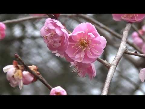 石山寺(滋賀) | 2020年梅まつり・見頃情報