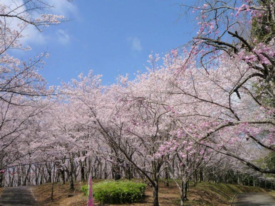 播磨中央公園 桜の園(兵庫) | 2020年桜祭り・夜桜ライトアップ・見頃情報