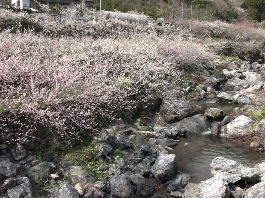 高知市土佐山中切 嫁石(高知) | 2020年梅まつり・見頃情報