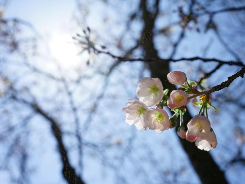 桜イメージ_001