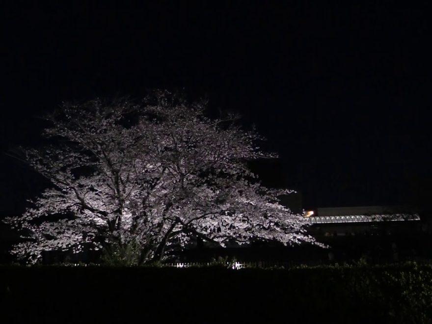 国立歴史民俗博物館(佐倉城址公園)(千葉) | 2020年桜祭り・夜桜ライトアップ・見頃情報