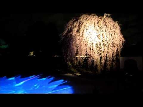 高台寺・円徳院(京都) | 2020年桜祭り・夜桜ライトアップ・見頃情報