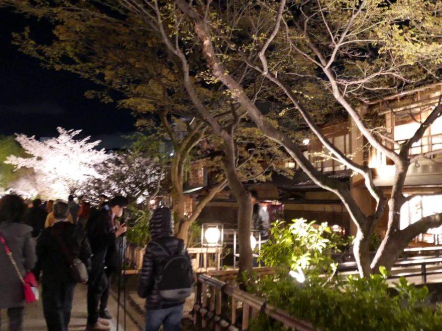 祇園新橋・白川沿い(京都) | 2020年桜祭り・夜桜ライトアップ・見頃情報