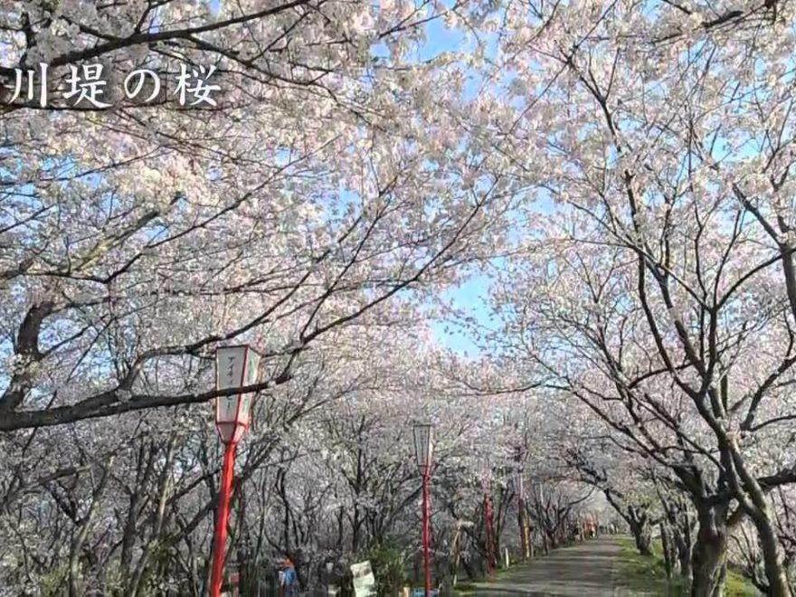 宮川堤(三重) | 2020年桜祭り・夜桜ライトアップ・見頃情報