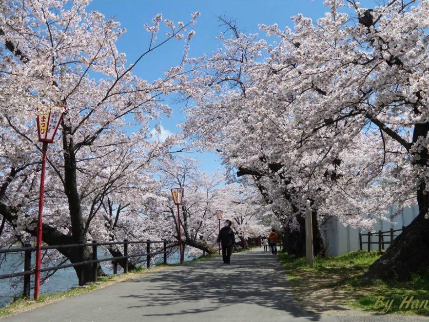 五百淵公園(福島) | 2020年桜祭り・夜桜ライトアップ・見頃情報