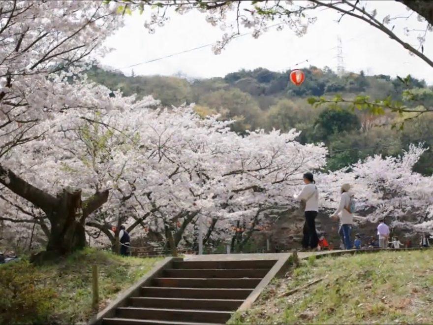 永楽ダム(奥山雨山自然公園)(大阪) | 2020年桜祭り・夜桜ライトアップ・見頃情報
